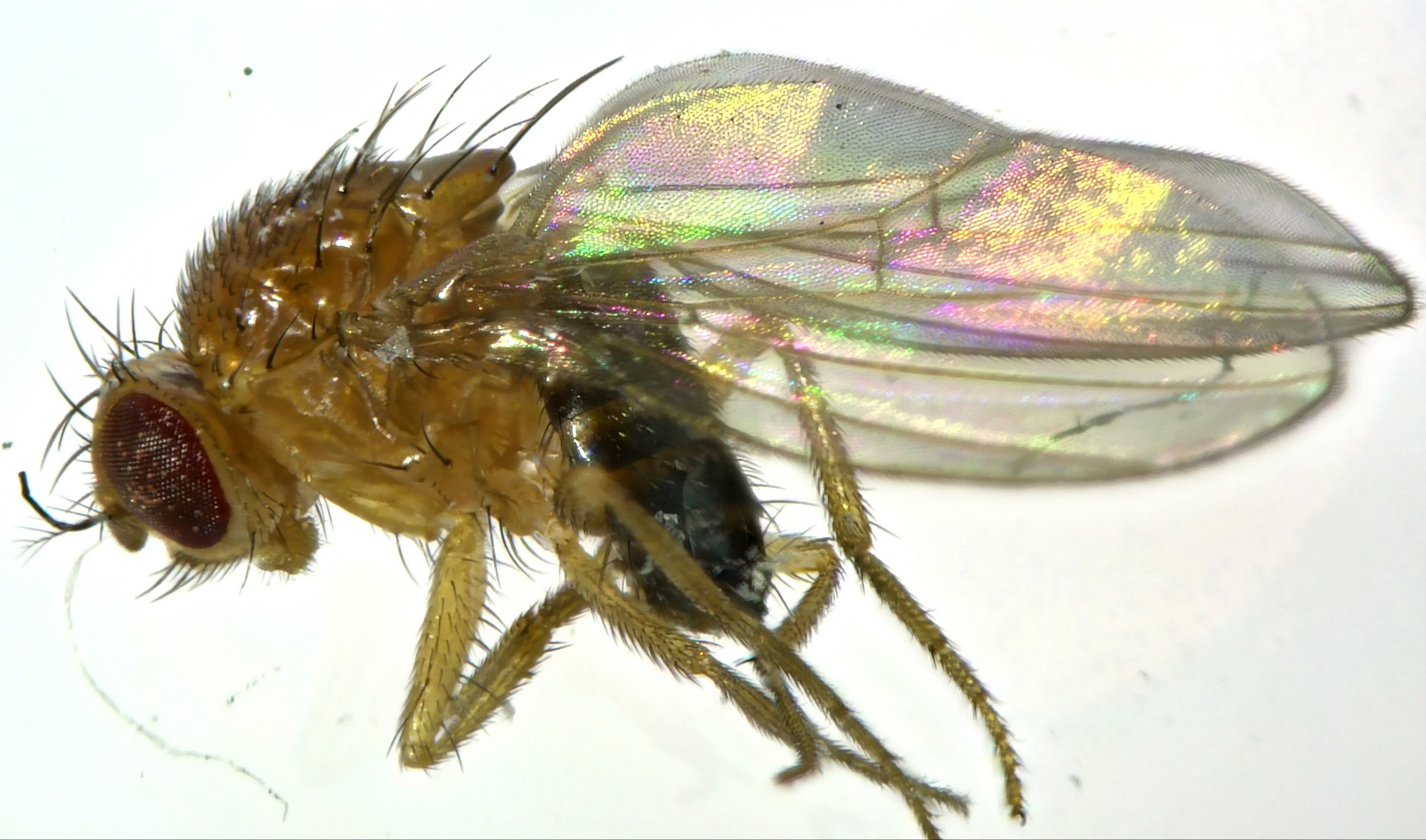 sample capture of a fly using  EDOF with the HDC DF4 microscope camera